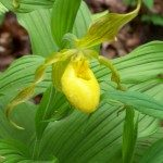 Cypripedium pubescens Yellow lady's Slipper-2