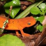Red salamander, common in the area.  Photo courtesy of Alex Armstrong.