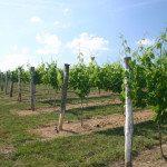 Vineyards in nearby Yadkin Valley.