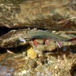 Native brook trout Photo Credit: Joe Mickey, NCDPR