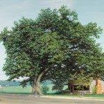 Osborne Boundary Oak. G.C. Monroe, artist, John Rolland, photographer. Painting owned by Shelton House.