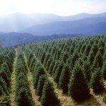 Nearby Christmas tree farm