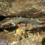 Ttrout in South Mountains State Park